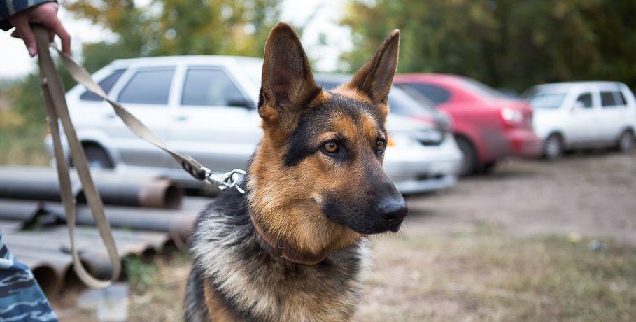 Ветеринар изНовосибирска будет лечить омскую собаку сотрубленными лапами