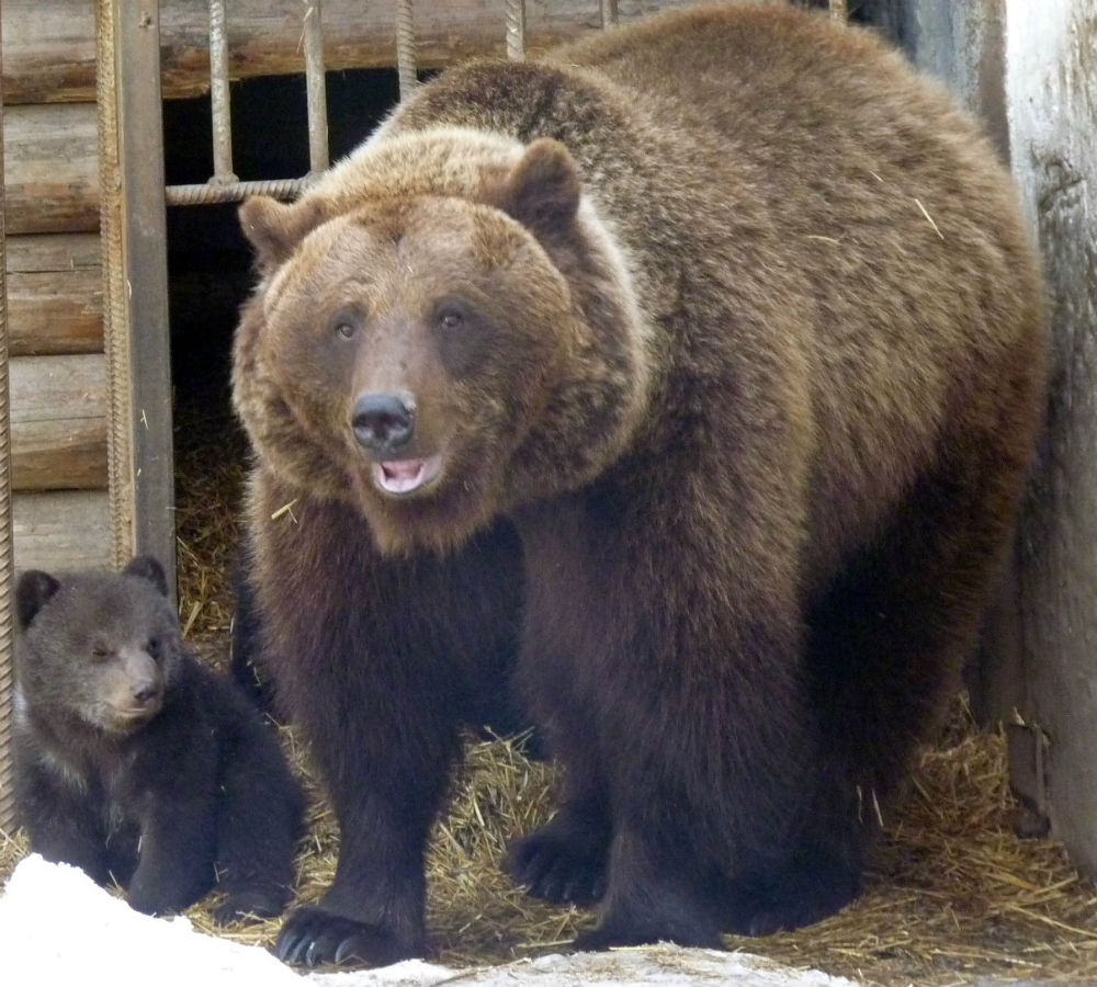 Спящая медведица родила двойняшек вомском зоопарке