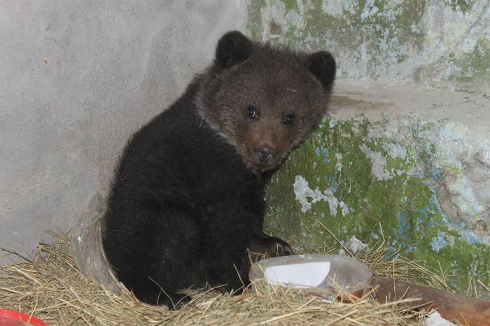 ВОмской области истощённый медвежонок пришёл клюдям запомощью
