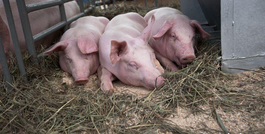 В Омской области вводится карантин из-за африканской чумы свиней