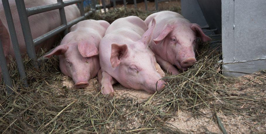 Чума свиней вОмской области добралась доГорьковского района