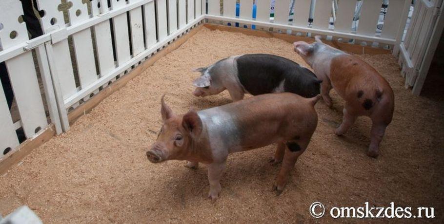 Из-за чумы свиней вОмске готовится главное совещание