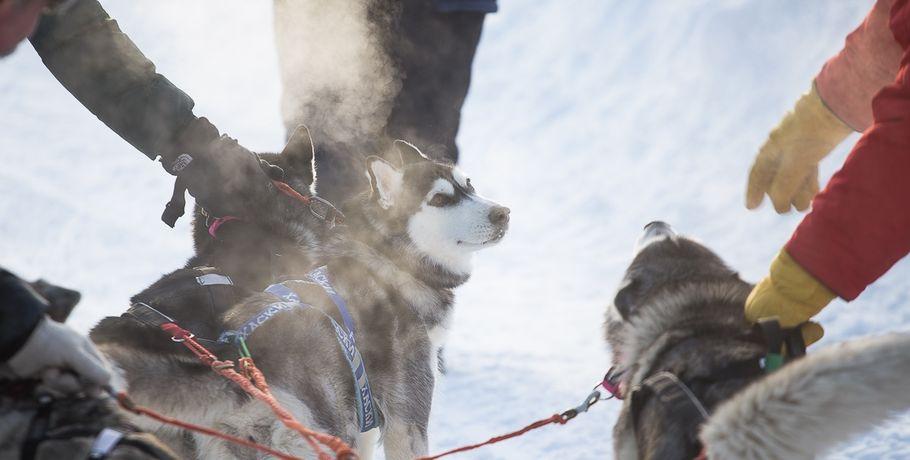 Омские ездовые собаки впервый раз выступят начемпионате мира