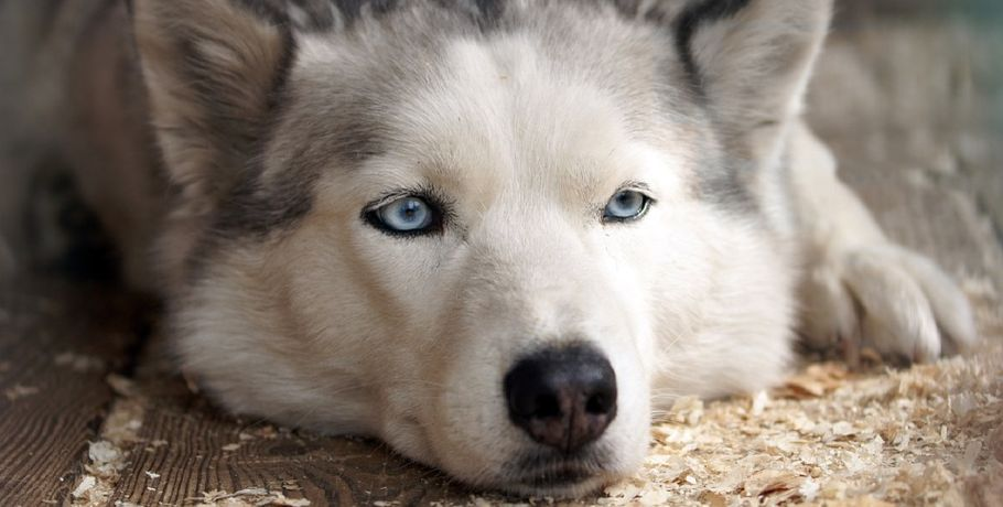 Омич похитил узнакомой дорогостоящего щенка хаски