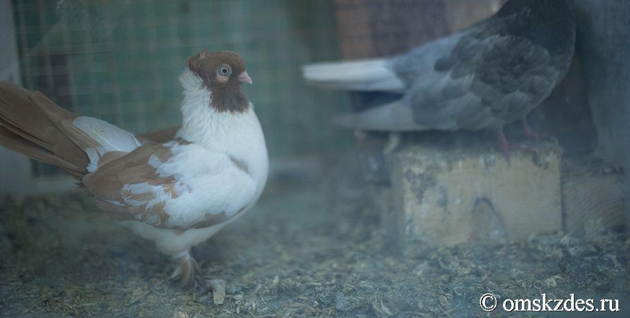 Дело омича, истязавшего голубей, передано прокурору