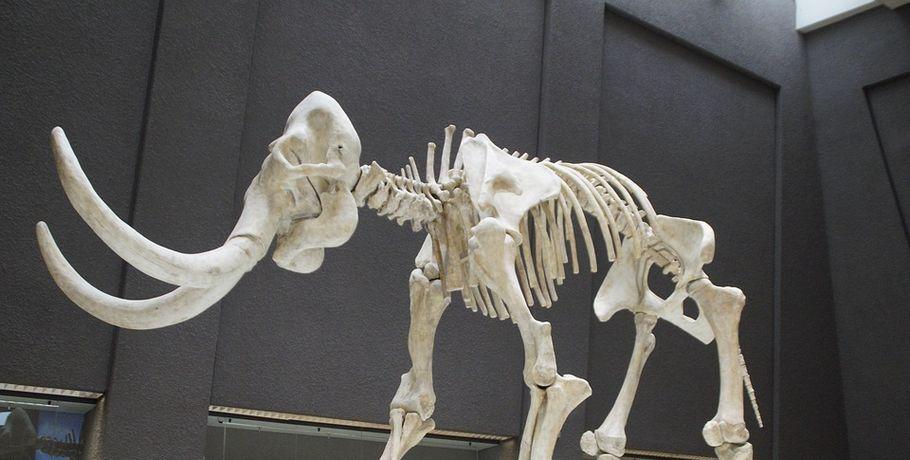 Омичи продавали останки мамонта иностранцам